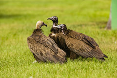 Three vultures on the grass Stock Image