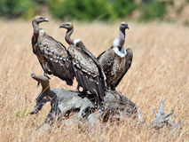 Three vultures sits on the snag Royalty Free Stock Photo