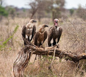 Three vultures sitting on branch Royalty Free Stock Image