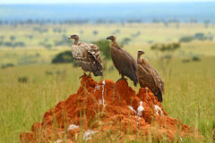 Three Vultures Sitting on a Rock Stock Photography
