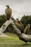 Three vultures on a tree. Stock Photo