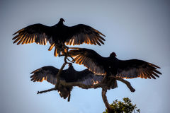 Three Vultures Stock Photography
