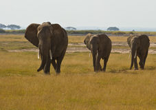 Three walking african Elephants Stock Photos