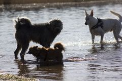 Three walking dogs. In the water Royalty Free Stock Image