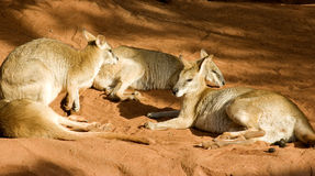 Three wallabies Royalty Free Stock Photography