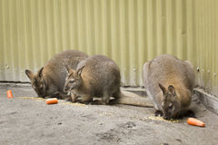 Three wallabies eating Stock Photo