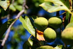 Three walnuts Stock Photo