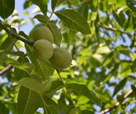 Three walnuts ripen on a branch royalty free stock photography