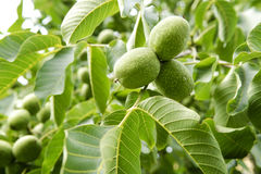 Three Walnuts Tree Stock Photography