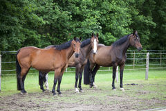Three Warmblood Horses on pasture Royalty Free Stock Photo