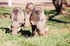 Three warthogs grazing in the wild Stock Photography