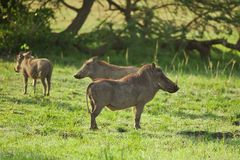 Three Warthogs in the Savannah Royalty Free Stock Images