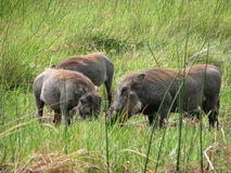 Three warthogs seeking food royalty free stock photo