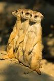 Three watchful meerkats standing guard at morning Royalty Free Stock Photos
