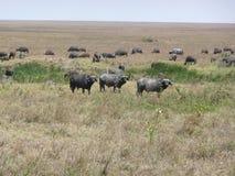 Three Water buffalos Stock Images