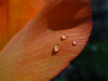 Three Water Drops on Orange Tulip Petal Royalty Free Stock Photos