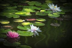 Three water lilies in a pond with green leaves. One white nymphaea with drops of water on the petals is reflected in the water. T. He other are in a soft focus stock photos