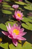 Three water lilly Royalty Free Stock Photography