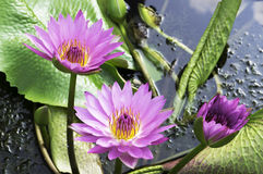 Three Water Lily Royalty Free Stock Photos