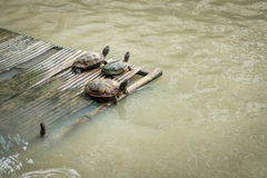 Three water turtles are on a bamboo pontoon in lake. Turtles are reptiles of the order Chelonii or Testudines characterised by a special bony or cartilaginous Royalty Free Stock Images