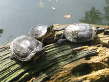 Turtles. Three water turtles in the zoo stock photography