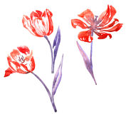 Three watercolor red tulips Stock Images