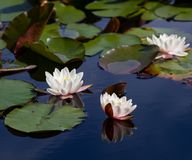 Three waterlily blooms in the summer Royalty Free Stock Images