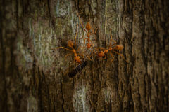 Three weaver ants eating insect Royalty Free Stock Photo