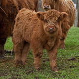 Three week calf of highland cattle Royalty Free Stock Photography
