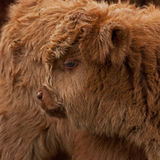 Three week calf of highland cattle. Three week old Highland cattle or kyloe in Sweden are an ancient Scottish breed of beef cattle with long horns and long wavy Royalty Free Stock Images