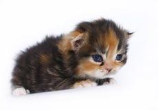Three-week kattunge på en white Royaltyfri Foto
