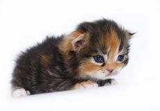 Three-week kitten on a white Royalty Free Stock Photo