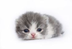 Three-week kitten on a white Royalty Free Stock Images