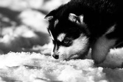 Three week old Alaskan malamute puppy. A real fluffy alaskan malamute puppy of three weeks old. eating some snow Stock Photos
