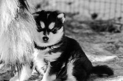 Three week old Alaskan malamute puppy. A real fluffy alaskan malamute puppy of three weeks old. hiding behind his mothers tail Royalty Free Stock Image
