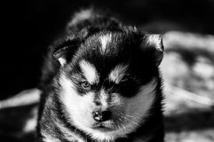 Three week old Alaskan malamute puppy. A real fluffy alaskan malamute puppy of three weeks old. staring in the distance stock photography