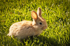 Three week old baby bunny. Light tan baby bunny sitting in spring grass Royalty Free Stock Photography