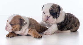 Three week old bulldog puppies Stock Photo