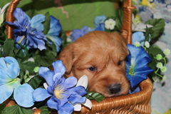 Three week old Golden Retriever puppy in flower basket Royalty Free Stock Photography