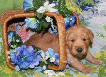 Three week old Golden Retriever puppy with flower. Golden retriever puppy with tipped flower basket cuddly young laying Stock Image