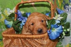 Three week old Golden Retriever puppyin flower basket Stock Photo