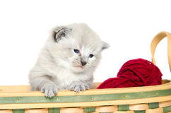 Three week old kitten Stock Images