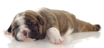 Three week old puppy Stock Images