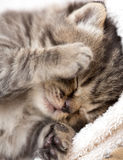 Three week sleeping baby kitten portrait Royalty Free Stock Image