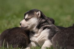 Three weeks old alaskan malamute 2 Stock Images