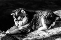 Three weeks old Alaskan malamute puppy. A real fluffy alaskan malamute puppy of three weeks old. lying down in the sun Royalty Free Stock Photography