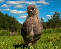 Three weeks old chicken male, from the Hedemora breed in Sweden. The breed is a very old hardy breed in Sweden. The breed has double springs on each pen, which Stock Photography