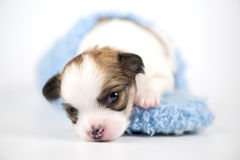 Three weeks old Chihuahua puppy in blue slipper. Three weeks old white with red Chihuahua puppy in blue slipper close-up on white background (shallow focus Royalty Free Stock Photography