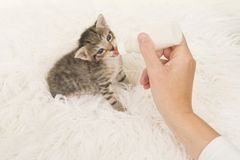Kitten being hand fed with a bottle of milk lying on a white fur background seen from a high angle view Stock Image