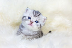 Three weeks old young cat sitting on sheep fur Royalty Free Stock Photography